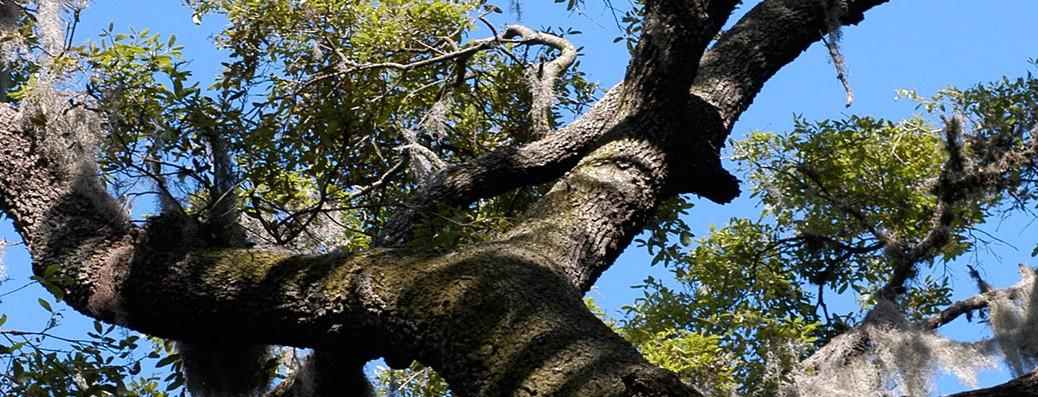 sky-oak-tree